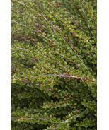 Tom Thumb Cranberry Cotoneaster