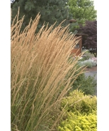 Foerster's Feather Reed Grass