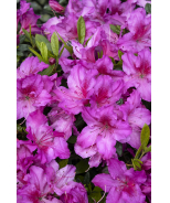 Double Shot® Grape Azalea