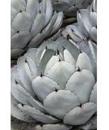 Artichoke Agave