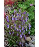 Summertime Blues Bellflower