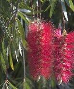 Red Cascade Bottlebrush