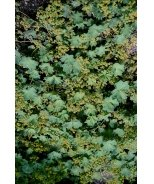 Mountain Lady's Mantle