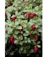 Red Pearl Lingonberry