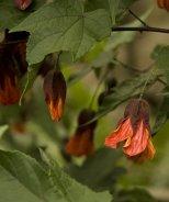 Cascade Dawn Flowering Maple