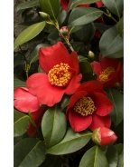 Spring's Promise Ice Angels® Camellia
