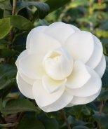 Alba Plena Camellia