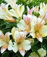 Colorita® Fabiana® Peruvian Lily