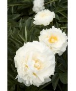 Bowl of Cream Double Herbaceous Peony
