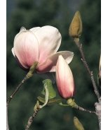 Athene Magnolia
