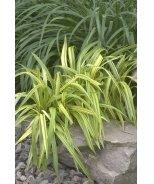 Gold Stripe Flax Lily