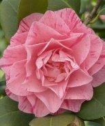 Carter's Sunburst Camellia