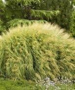 Dwarf Maiden Grass