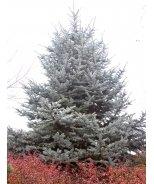 Hoop's Blue Spruce
