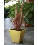 Sundowner New Zealand Flax