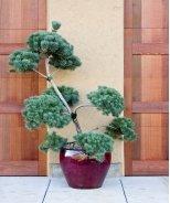 French Blue Scotch Pine