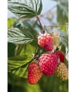 Indian Summer Raspberry