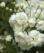 White Lady Banks Climbing Rose