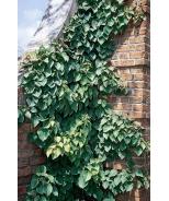 Moonlight® Chinese Hydrangea Vine
