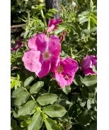 Wildberry Breeze Shrub Rose