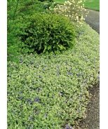 Variegated Common Periwinkle