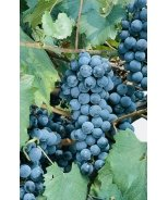 Eastern Concord Grape
