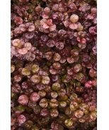 Red Dragon® New Zealand Myrtle
