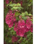 King Edward VII Flowering Currant