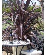 Cabernett Dracaena Palm