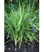 Becca™ Flax Lily