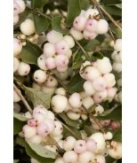 Charming Fantasy™ Snowberry