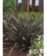 Platt's Black New Zealand Flax