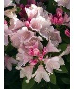Yaku Princess Rhododendron