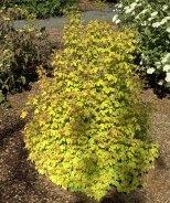 Golden Leafed European Cranberry Bush