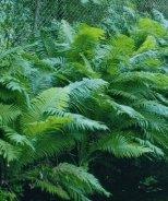 Log Fern