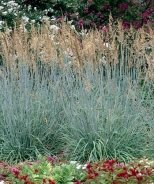 Sioux Blue Indian Grass