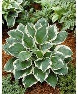 Minuteman Plantain Lily