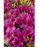 Girard's Fuchsia Evergreen Azalea