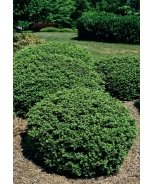 Soft Touch Compact Japanese Holly