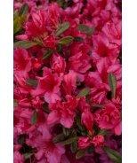 Girard's Rose Evergreen Azalea