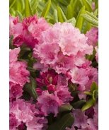 Haaga Rhododendron