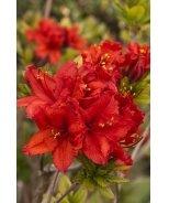 Red Sunset Azalea