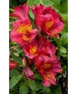 Colorita® Oxana® Peruvian Lily