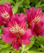 Colorita® Ivana® Peruvian Lily