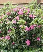 Daphnoides Rhododendron