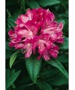 Ignatius Sargent Rhododendron