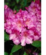 Normandy Rhododendron