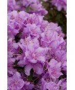 Purple Gem Rhododendron