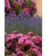 Flower Carpet® Pink Groundcover Rose