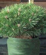 Brepo® Austrian Pine